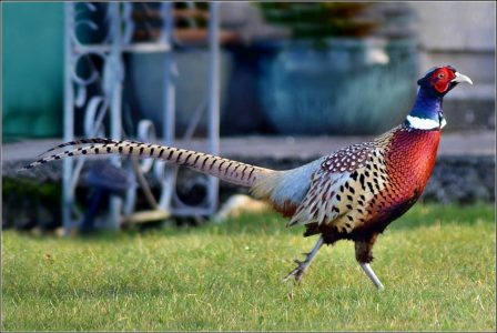 Pheasant breeding software