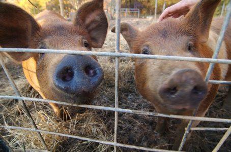 Pig breeding software