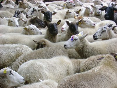 Sheep breeding software