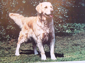 Largest databank of Golden Retrievers now in use