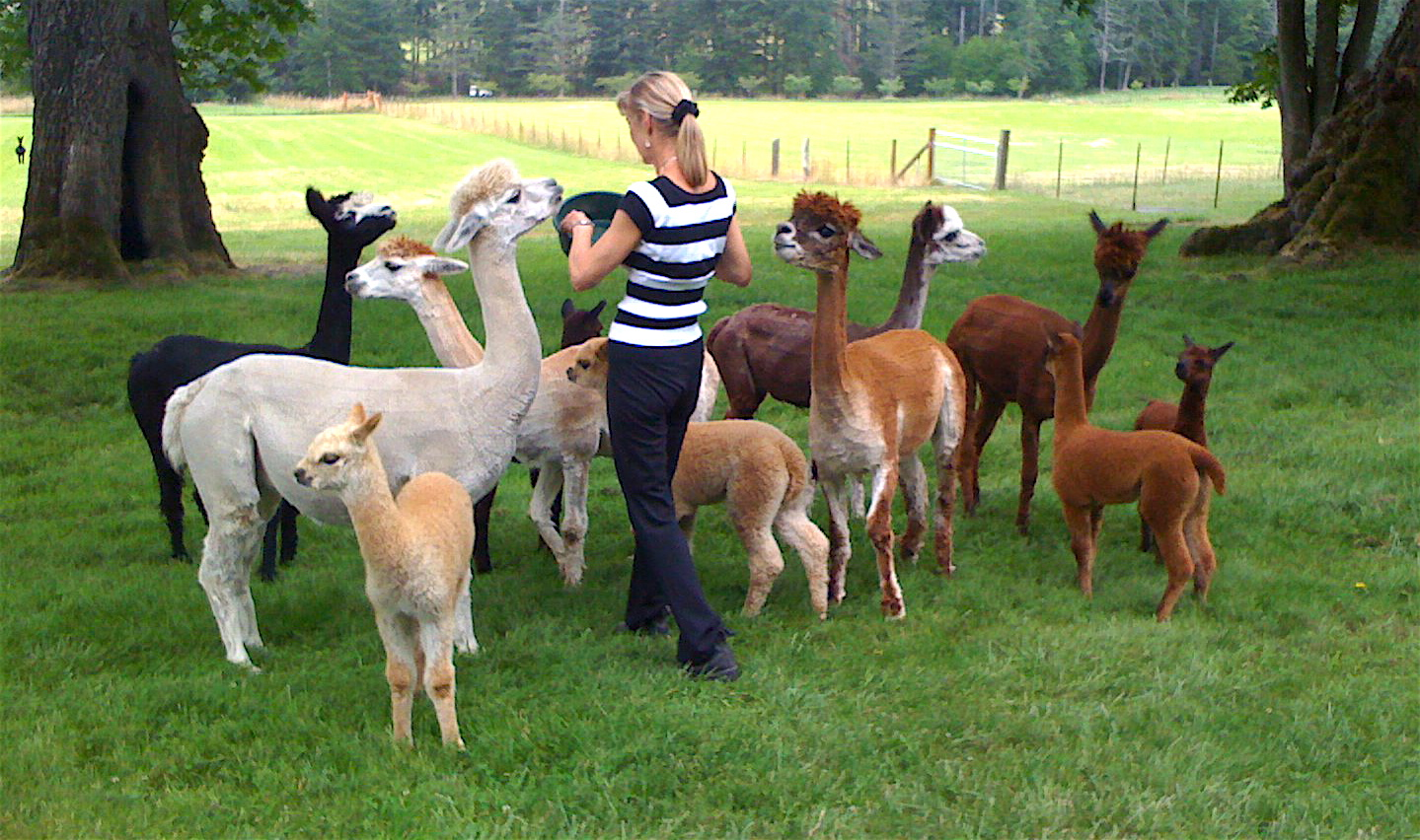 Breeding alpacas