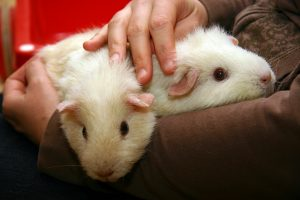 Breeding guinea pigs