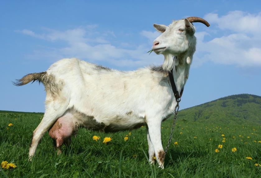 Breeding of goats