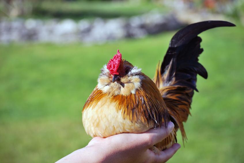 Breeding poultry
