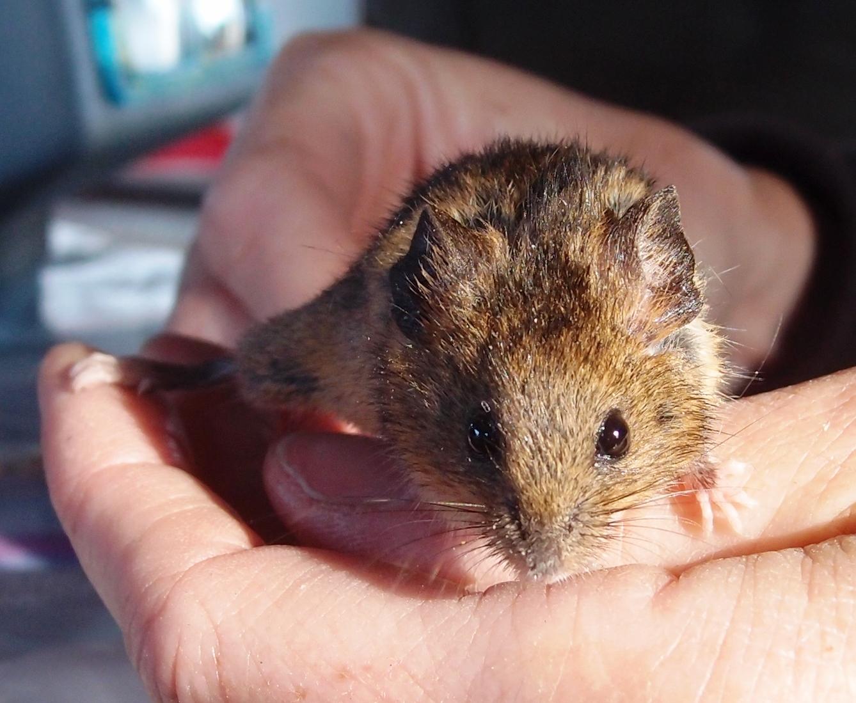 Breeding mice