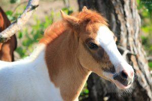 Breeding ponies