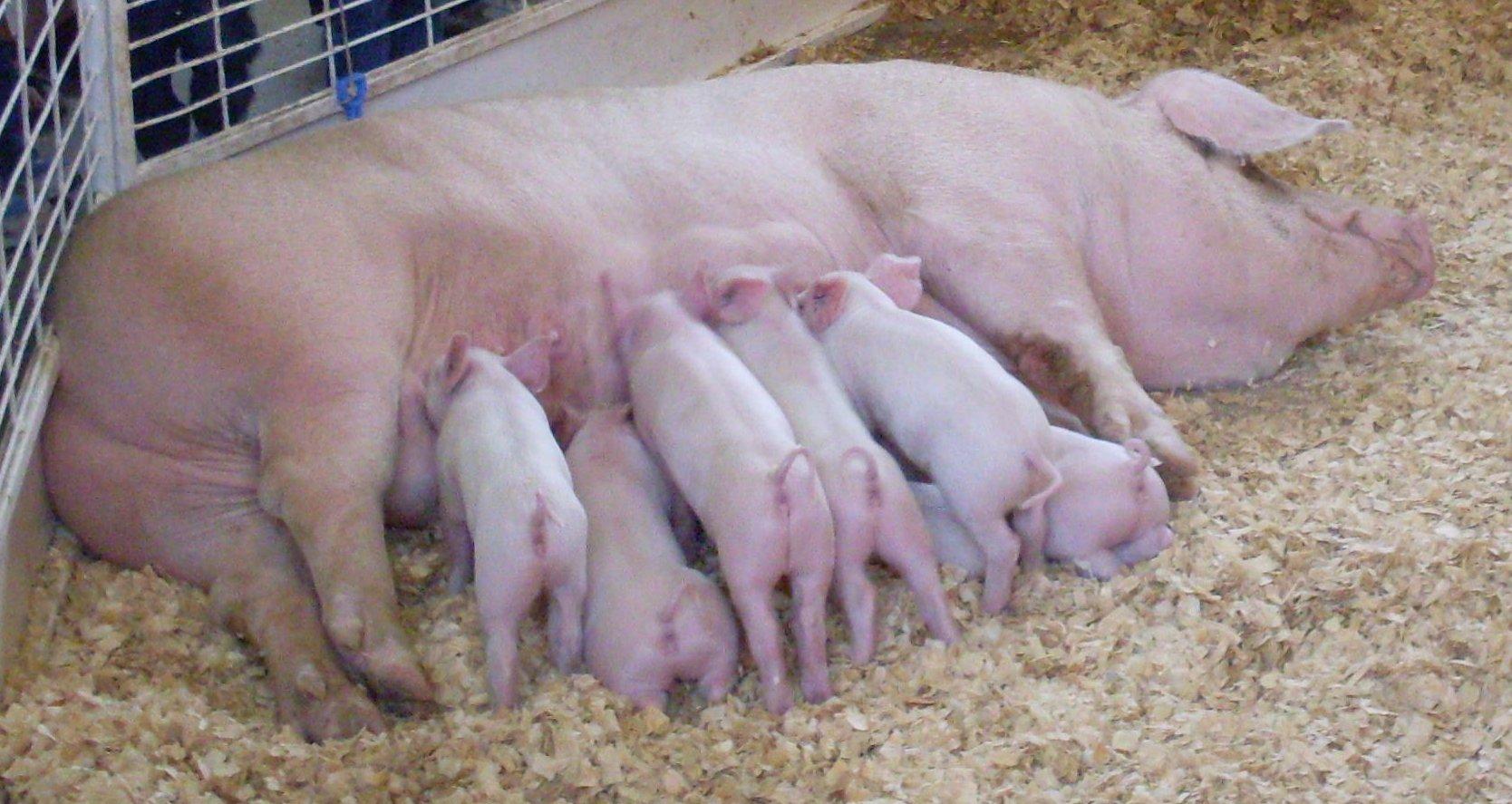 Breeding pigs